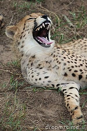Cheetah Wild Cat Teeth