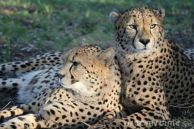 Cheetah Wild Cats