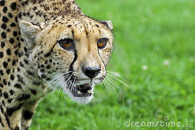 Cheetah - Wildlife Park