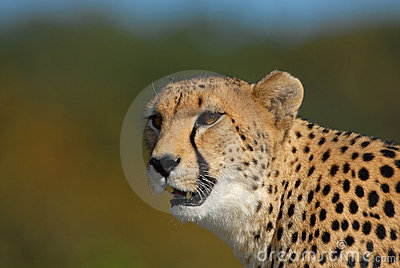 Cheetahkringstrykande