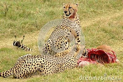 Cheetahs feeding