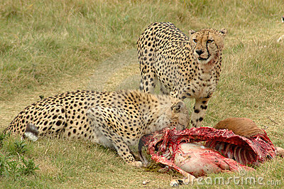 Cheetahs with prey