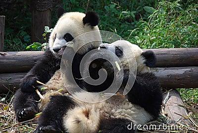 chengdu china pandas die bambus essen stockfotos bild 16496273. Black Bedroom Furniture Sets. Home Design Ideas