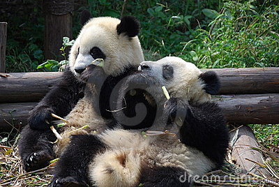 Chengdu, China: Pandas Eating Bamboo
