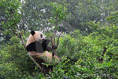 The Chengdu Research Base of Giant Panda Breeding