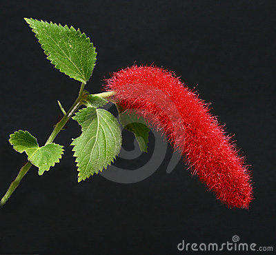 Chenille Plant Acalypha hispida