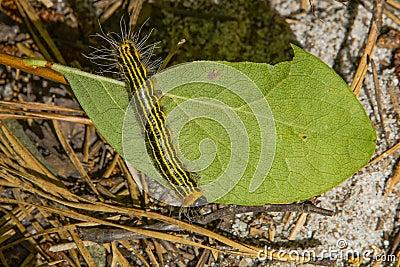 Chenille ray e noire et jaune photo stock image 67070145 - Chenille verte et noire ...