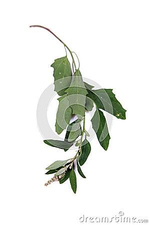 Chenopodium stem
