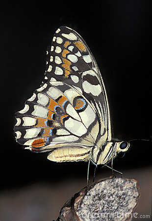 Free Chequered Swallowtail Butterfly Royalty Free Stock Photography - 1692427