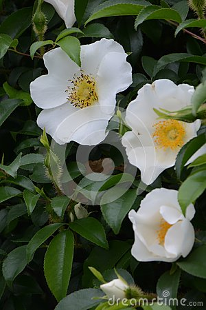 Free Cherokee Rose Stock Photo - 114675160