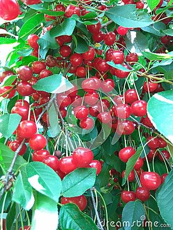 Cherries branch Stock Photo