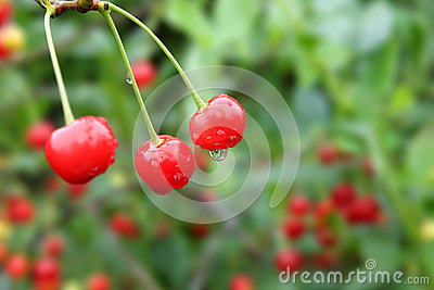 Cherries with droplets on green background