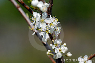 Cherries flower