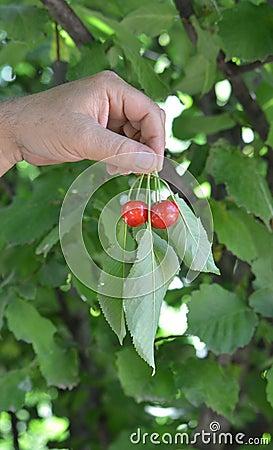 Cherries on hands
