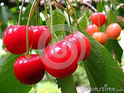 Cherries in the tree