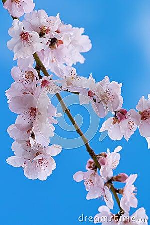 Cherry almond blossom