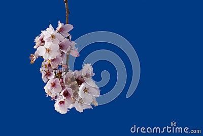 Cherry bloosoms