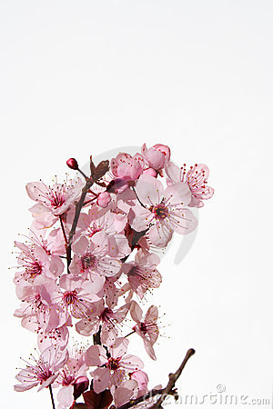 Free Cherry Blossom Royalty Free Stock Photo - 1116475