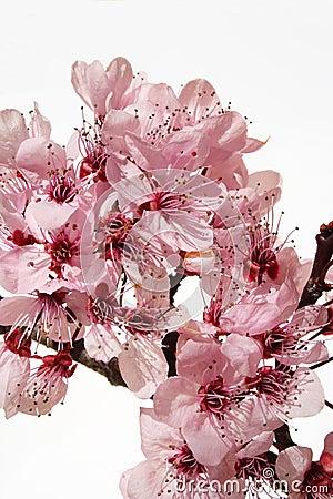Free Cherry Blossom Royalty Free Stock Photography - 1116477