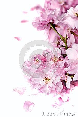 Free Cherry Blossom Royalty Free Stock Photos - 5043038