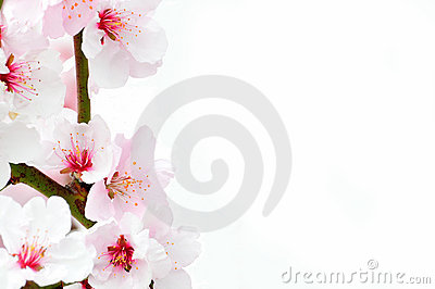 Cherry blossom against a white background