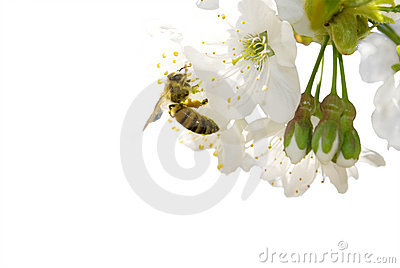 Cherry blossom and bee