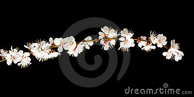 Cherry blossom branch isolated on black