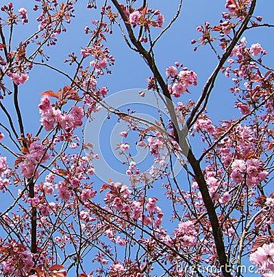 Cherry Blossom Brocade