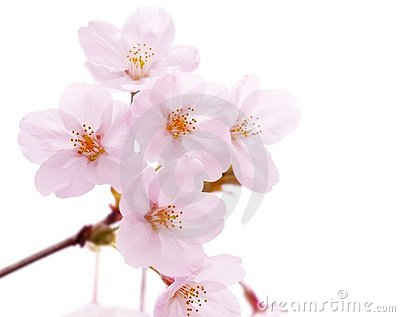 Cherry blossom flower isolated