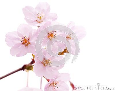 Cherry blossom flower isolated