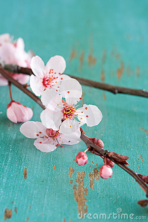 Free Cherry Blossom Flowers Royalty Free Stock Image - 8073536