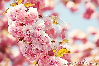 cherry blossom im fr hjahr sch ne rosa blumen stockfoto bild 53641907. Black Bedroom Furniture Sets. Home Design Ideas