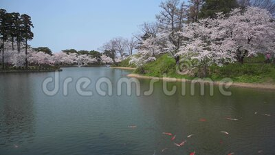 Cherry blossom on the lake. View of the lake during the cherry blossom with big golden fish stock video