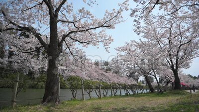Cherry blossom on the lake. View of the cherry blossom in Japan stock footage