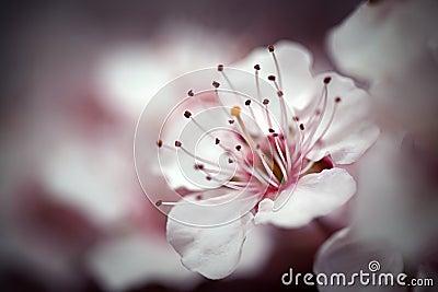 Cherry Blossom Macro I