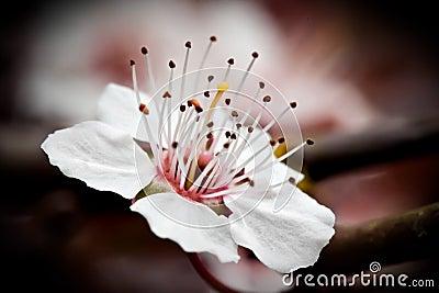 Cherry Blossom Macro II