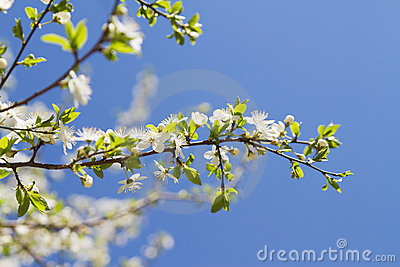 Cherry blossom macro photo