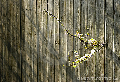 Cherry blossom and old fence