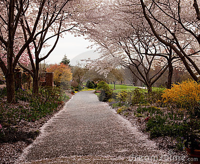 Cherry blossom petals fall on path