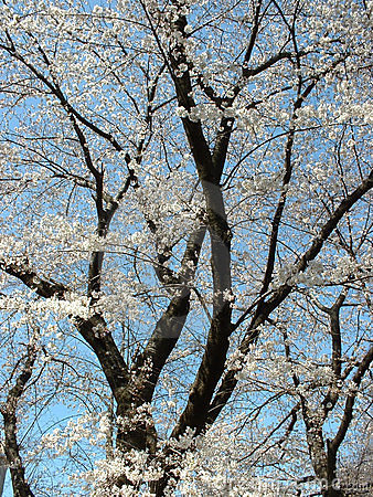 Cherry blossom - portrait