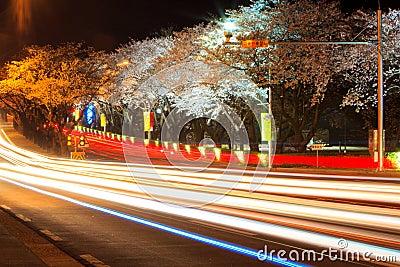 Cherry Blossom Season at Night