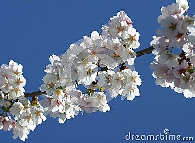 Cherry Blossom (selective focus)