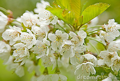 Cherry blossom in Springtime.
