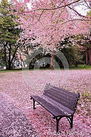 Free Cherry Blossom Time Stock Photos - 30406453