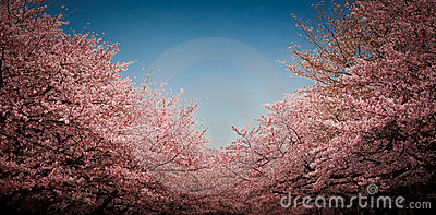Cherry blossom in Tokyo