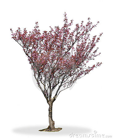 Cherry Blossom Tree Royalty Free Stock Photography - Image: 19343647