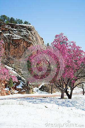 Free Cherry Blossom Trees At Red Rock Canyon Open Space Colorado Spri Stock Photos - 95856823