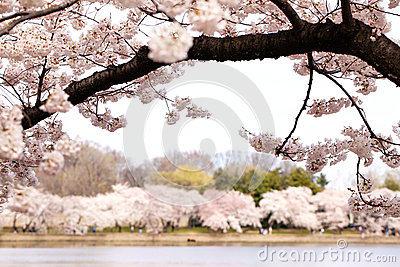 Cherry blossom trees over the Tidal Basin