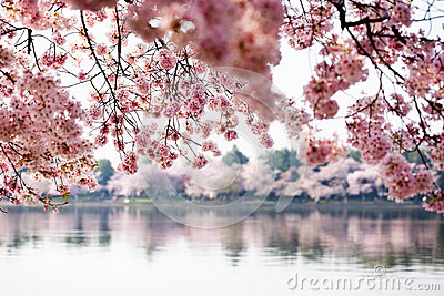 Cherry blossom trees in Washington DC