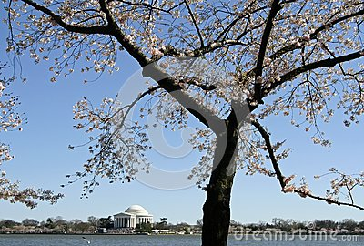 Cherry Blossom in Washington